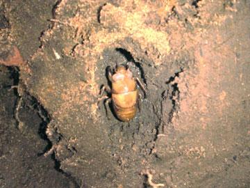蝉の幼虫.jpg